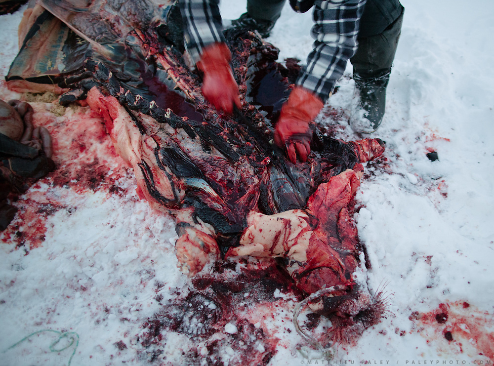 After a successful hunt, a bearded seal is brought to land and prepared for eating by hunter Tobias Ignatiussen. Life in and around the Inuit settlement of Tasiilaq (population of 2000), in East Greenland.