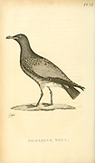 pomarine jaeger (Stercorarius pomarinus), pomarine skua, or pomatorhine skua from the 1825 volume (Aves) of 'General Zoology or Systematic Natural History' by British naturalist George Shaw (1751-1813). Shaw wrote the text (in English and Latin). He was a medical doctor, a Fellow of the Royal Society, co-founder of the Linnean Society and a zoologist at the British Museum. Engraved by Mrs. Griffith