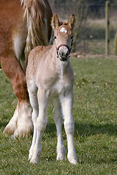 Foal<br /> Reportage Cover CAP<br /> Photo© Dirk Caremans