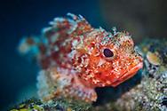 Red scorpionfish-Rascasse rouge (Scorpaena scrofa) of Mediterranean sea.