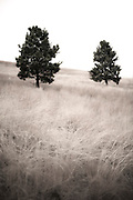 I still can't figure out what it was about these two trees but I was compelled to make an image. Maybe someday I will know why. Missoula Photographer, Missoula Photographers, Montana Pictures, Montana Photos, Photos of Montana