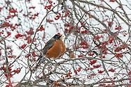 01382-05309 American Robin (Turdus migratorius) in Hawthorn tree in winter Marion Co. IL