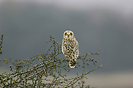 Short-eared Owl Asio flammeus L 35-40cm. Well-marked owl that often hunts in daylight. Flight is leisurely, often with stiffly-held wings. Perches on fenceposts. Sexes are similar. Adult and juvenile have buffish brown plumage, heavily spotted and streaked on upperparts; underparts are streaked but paler. Facial disc is rounded; note yellow eyes and short 'ear' tufts. Voice Displaying birds sometimes uttera deep hoots. Status Local and rather scarce. Nests on upland moors but outside breeding season favours lowland marshes, grassland and heaths, particularly near coasts. Influx of birds from Europe boosts winter numbers.