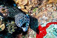 Spotted Moray, Gymnothorax moringa, Grand Cayman