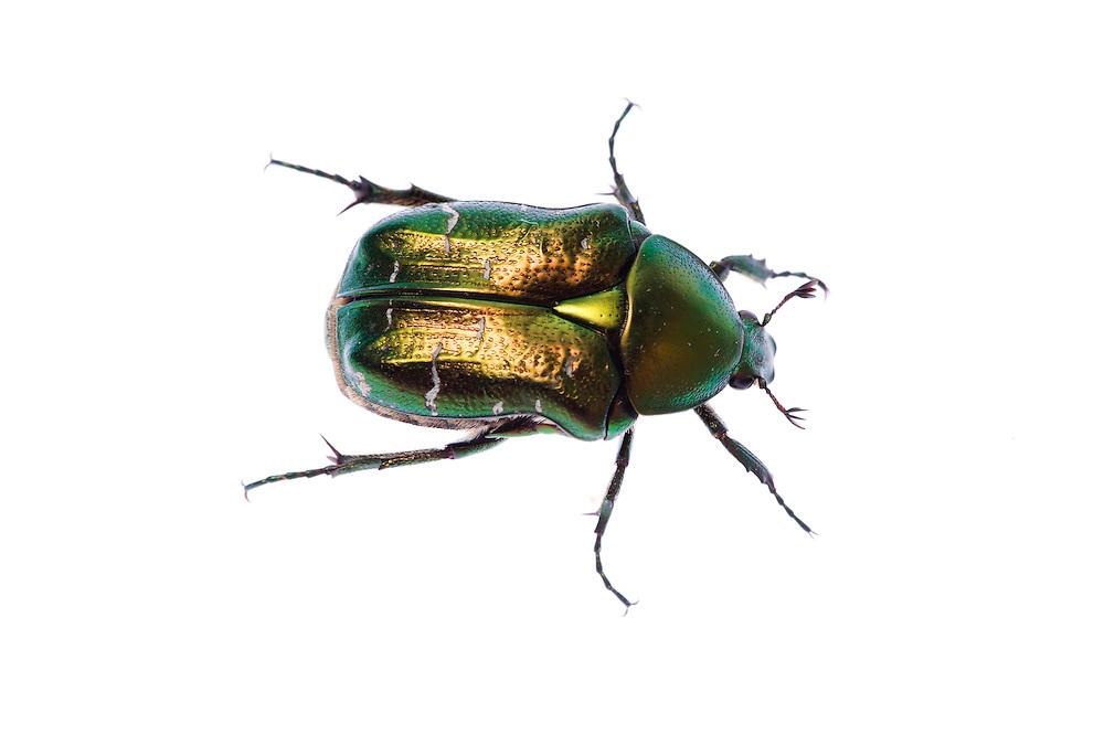 IFTE-NB-007717; Niall Benvie; Rose chaffer; Austria; Cetonia; aurata; Europe; Tirol; Fliesser Sonnenhänge; beetle invertebrate arthropod insect; horizontal; high key; controlled; one; grassland meadow; 2008; July; summer; strobe backlight; Wild Wonders of Europe Naturpark Kaunergrat