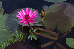 Water Lily, magenta #11 horiz