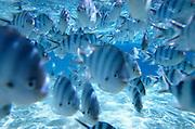 Fish, Aitutaki, Cook Islands<br />