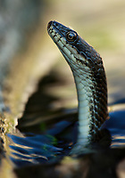 Dice snake (Natrix tesselata) hunting for little fish and tadpoles in a lake in the Patras area.