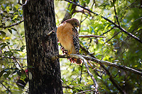 A beautiful red-shouldered hawk perched in a bald cypress tree in the Fakahatchee Strand.