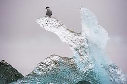 Arctic Tern (Sterna paradisaea) on glacier ice in Spitsbergen, Svalbard