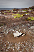 A nazca booby (Sula grunti) sitting on a ground nest on Genovesa Island, Galapagos Archipelago - Ecuador.