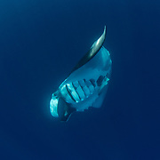 Giant oceanic manta ray, Manta birostris, feeding near the surface, Honda Bay, Palawan, the Philippines, Sulu Sea Oceanic manta ray ( Manta birostris ), Honda Bay, Palawan, the Philippines Oceanic manta ray (Manta birostris) barrel roll feeding. Honda Bay, Palawan