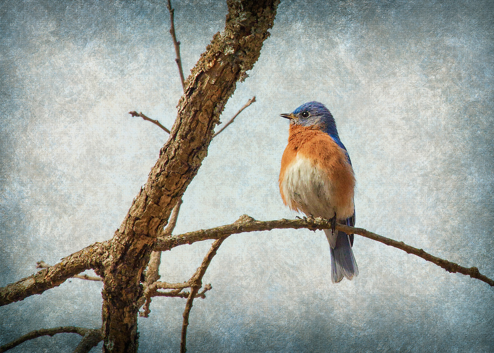 A bluebird perched on a rotting tree branch on a moody overcast day.<br /> <br /> The bluebirds are a group of medium-sized, mostly insectivorous or omnivorous birds in the genus Sialia of the thrush family. Bluebirds are one of the few thrush genera in the Americas. They have blue, or blue and rose beige, plumage.