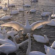 Whooper Swan (Cygnus cygnus) on Lake Kussharo. Japan.