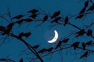 Middletown crows