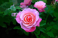 An image of a lovely pink rose in full bloom.