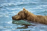Brown bear in water, McNeil River State Game Sanctuary, Alaska, © David A. Ponton
