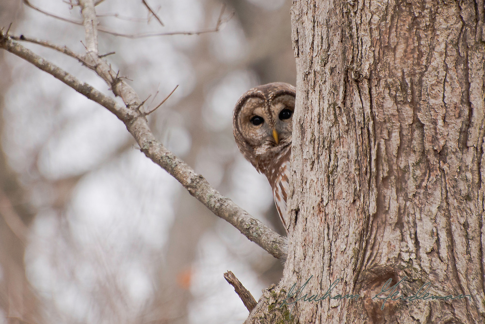A Barred Owl peeks from behind a tree.