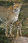 A cheetah has captured a small gazelle, which stays paralyzed in front of its defeater.  The cheetah plays with the doomed gazelle, perhaps to attract the mother's attention and the chance for a bigger prey?