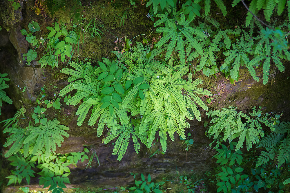 Western maidenhair ferns are one of the most attractive and distinctive-looking ferns found in North America. It grows on moist hillsides and ravines and  is most common near waterfalls, It grows natively in all of the western American states, British Columbia, and scattered locations in the northeast, the Great Lakes and Quebec. These were found next to Sol Duc Falls in the Olympic Mountains of Washington State.