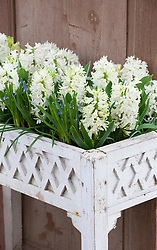 Hyacinthus 'White Pearl' with Tulipa 'Exotic Emperor' and Muscari 'Valerie Finnis' in a wooden planter. (Successional)