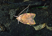 Close up of a colourful micro moth (Carcina quercana) with typical long antennae resting on the bare ground in a Dorset wood