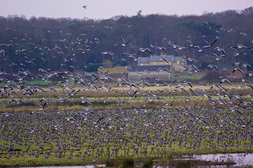 Migrating Pink-Footed geese over-wintering on marshland at Holkham, North Norfolk coast, East Anglia, Eastern England