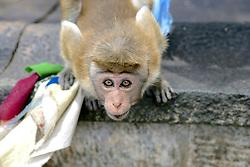 Toque Macaque At Dambulla Cave Temple