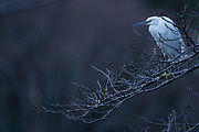 A Little Egret (Egretta Garzetta,) perched in a  tree at dusk. Izumi no Mori Park near Yamato, Kanagawa, Japan. Thursday February 25th 2021