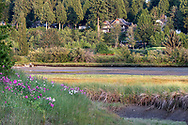 Houses on Crescent Road overlook the tidal wetlands at Blackie Spit in Surrey, British Columbia.  The flowers in the foreground are Marsh Peavine (Lathyrus palustris).