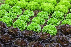 Salanova lettuces - Lettuce 'Gaugin' (dark) and 'Archimedes' (green)
