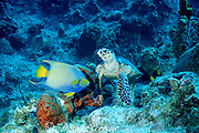 hawksbill sea turtle, Eretmochelys imbricata ( critically endangered species), feeding on sponge, attracts queen angelfish, Holacanthus ciliaris, which feed on broken bits of sponge, Sunset House Reef,  Grand Cayman Island, British West Indies ( Caribbean Sea )