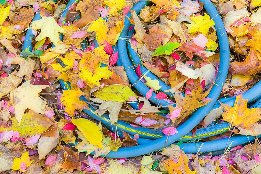 Garden hose, October, Cheshire County, New Hampshire, USA
