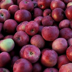 Bolton, MA.  USA.  Harvested apples at the Nicewicz Farm in Massachusetts' Nashoba Valley.
