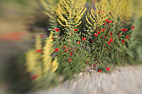 Common Poppy, Papaver rhoeas, along side of road.<br /> Lagadin village region, east shore Lake Ohrid (693m), Macedonia<br /> Galicica National Park, Macedonia, June 2009<br /> Mission: Macedonia, Lake Macro Prespa /  Lake Ohrid, Transnational Park<br /> David Maitland / Wild Wonders of Europe