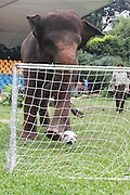 GUANGZHOU, CHINA - JUNE 22: (CHINA OUT) <br /> <br /> Animals Play Football<br /> <br /> An elephant plays football against a black bear at a zoo and  receives a trophy from an orangutan after a football match against black bear <br /> ©Exclusivepix
