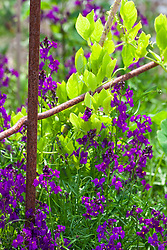Linaria maroccana 'Violet' with Cobaea scandens 'Alba' (Cup-and-saucer vine). Annual toadflax, Moroccan toadflax