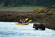 Two kayakers encounter a brown bear feeding on salmon in Alaska.