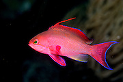 UNDERWATER MARINE LIFE WEST PACIFIC, generic FISH: goldfish, male Anthias squamipinnis