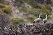 Nene in Haleakala National Park on the island of Maui, Hawaii, USA