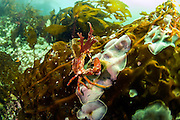 Northern Kelp Crab, Pugettia producta, climbs up a kelp stalk in Browning Passage, Vancouver Island, British Columbia, Canada