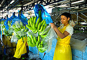 Banana Factory Worker Removes Plastic Wrapping From Banana Bunch On The Assembly Line In Costa Rica.