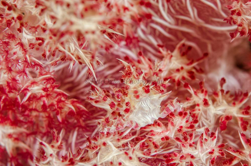 Soft Coral Crab (Hoplophrys oatesii)<br /> Raja Ampat<br /> West Papua<br /> Indonesia<br /> Camouflage