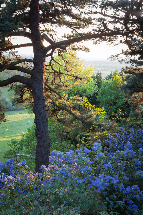 View through the Scotch Firs and Ceanothus, The Pool, The Banks & Lower Garden, Kiftsgate Court Gardens
