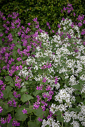 Lunaria annua and Lunaria annua var. albiflora - white and purple honesty
