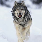 Gray Wolf (Canis lupus) running in the winter in Montana. Captive Animal