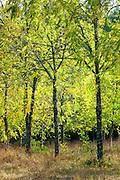 Copse of ash trees on Via Aldo Moro, Chianti, Tuscany, Italy
