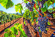 Art design of grapes in a vineyard in Napa Valley, CA