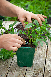 Taking basal cuttings from dahlias in the greenhouse. Taking the material from the base of the plant