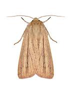 73.289 (2196)<br /> Striped Wainscot - Mythimna pudorina